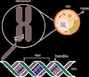 Genetika-osnove