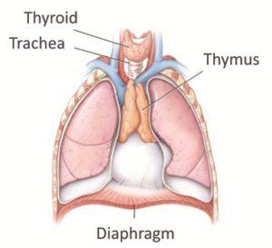 Dijelovi limfnog sustava